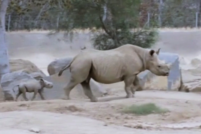 В зоопарке Сан-Диего родился черный носорог