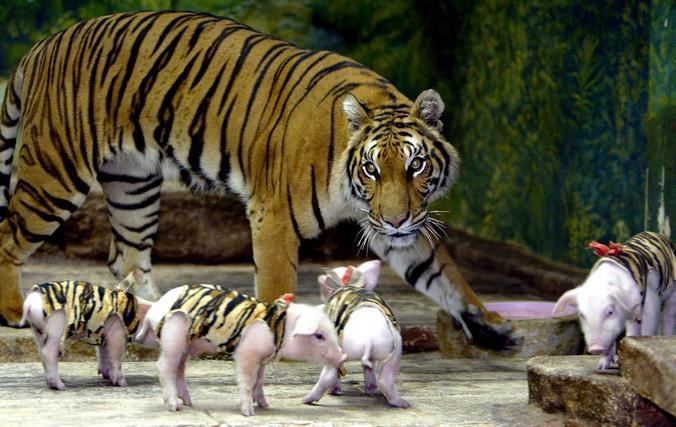 Тигрица с поросятами