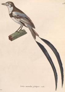 Alectrurus_risora_male_1838