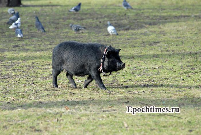 животные, свинья, Москва