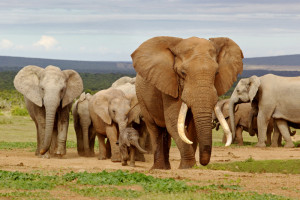 elephants-shutterstock_119196472-WEBONLY