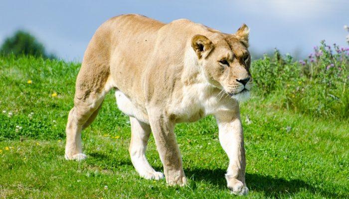 На поле в Тверской области фермеры встретили львицу