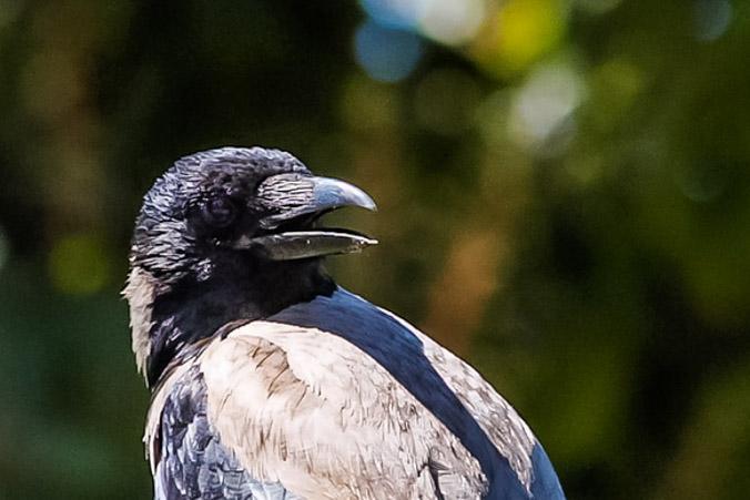 Ворона. Фото: Хава Тор/Великая Эпоха