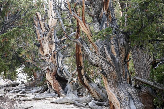 Древние остистые сосны в Белых горах в национальном парке Инио, Калифорния. Фото: Gabriel Bouys/AFP/Getty Images