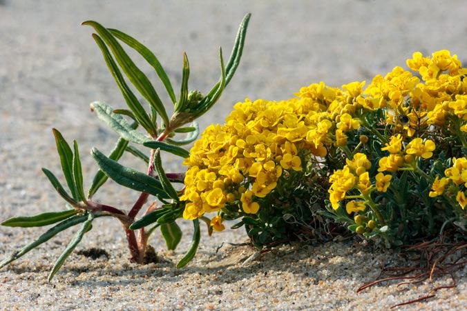 Полезные полевые цветы Байкала. Алиссум.Фото: Нина Апёнова/Великая Эпоха