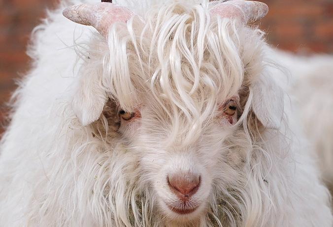 Пряжа: что полезно знать при покупке в Интернете. Кашемировые козы (молодая особь) — источник самой мягкой пряжи. Фото: FREDERIC J. BROWN/AFP/Getty Images