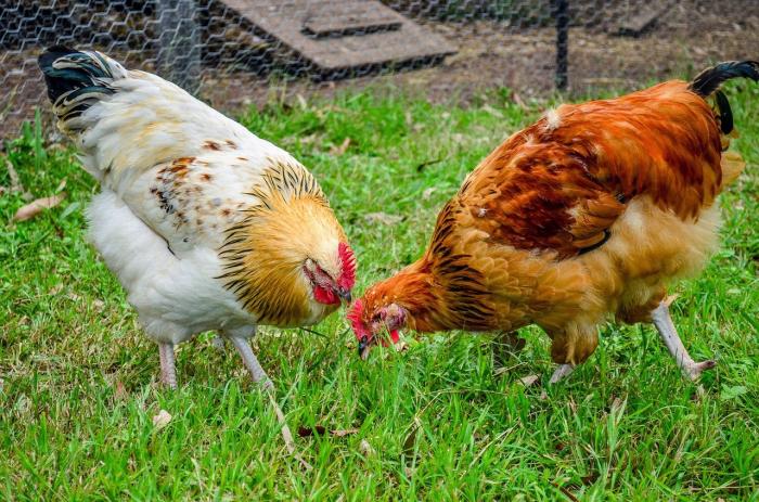 Ракушки могут стать главным источником корма в птицеводстве