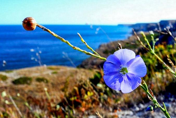 Джангуль — сине-белый цветок западного Крыма. Фото: Алла Лавриненко
