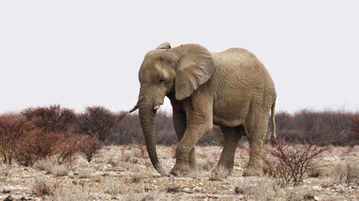 Учёные: у африканских слонов лучшее в мире обоняние