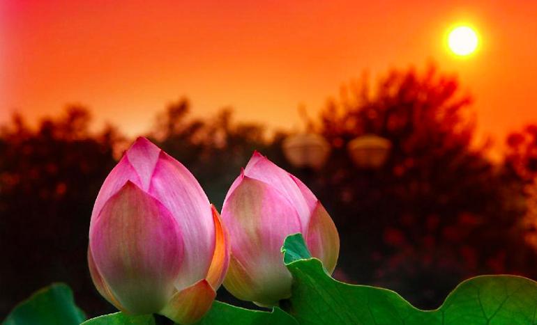 Два бутона лотоса закрываются на закате, парк города Лоян, Китай, 12 июля 2014 года. Фото: скриншот/ecns.cn