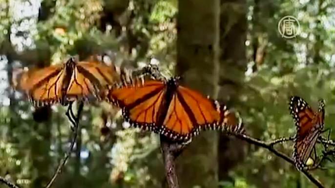 Власти Мексики взяли под защиту бабочек данаида монарх. Скриншот видео.