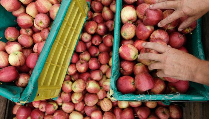 Россия вернула в Белоруссию 190 тонн польских и молдавских яблок