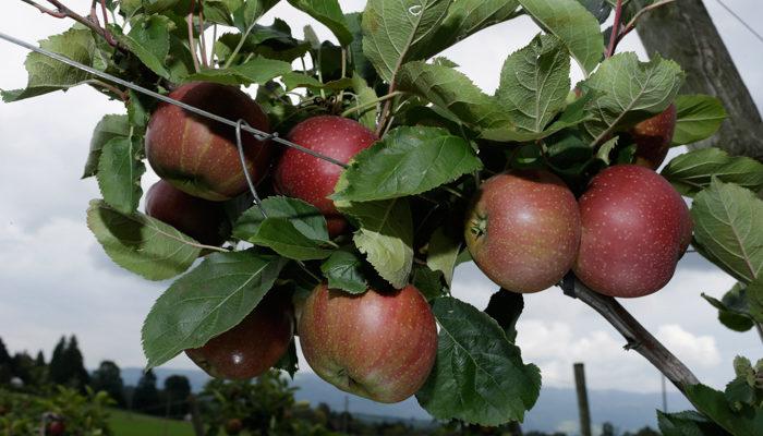 Учёные выяснили, что яблоки улучшают память