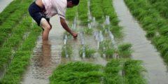 Китайские власти активно продвигают ГМО