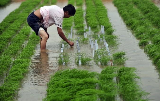 Учёный изучает два сорта ГМО риса, выращиваемого на ферме в г. Ухань в рамках открытого эксперимента. Фото: STR/AFP/Getty Images
