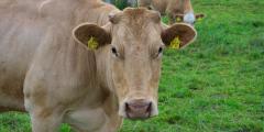 Стадо необычных коров 2 раза в год отводят на необитаемый остров. Как же им там хорошо!