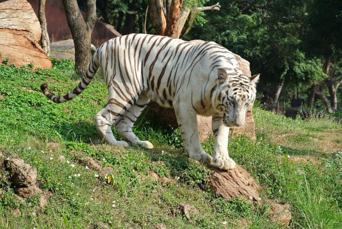 Белый тигр загрыз насмерть мальчика в зоопарке Дели