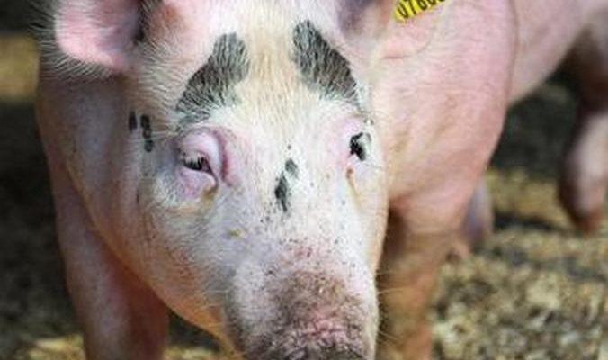 Китай готов увеличить поставки свинины в Россию
