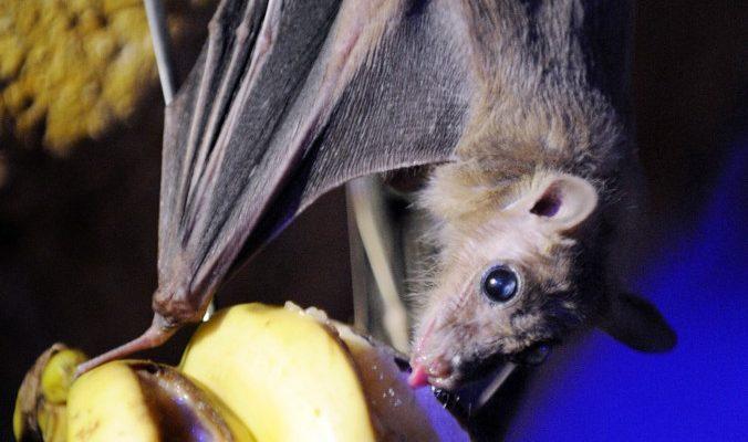Летучие мыши Эболы: как вырубка лесов привела к смертоносной эпидемии