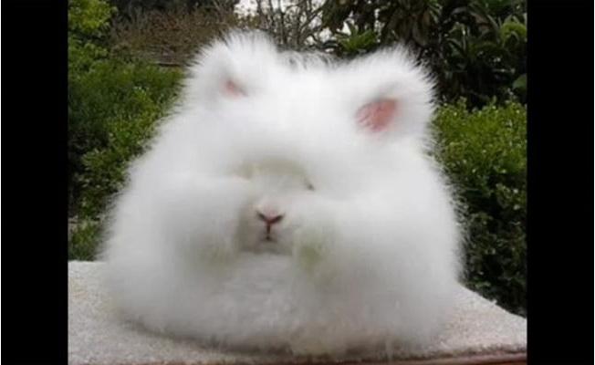 Ангорский кролик. Скриншот видео