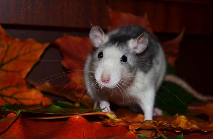 Учёные научили парализованных крыс заново ходить
