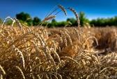 Пшеница. Фото: Сергей Скуратов/flickr.com