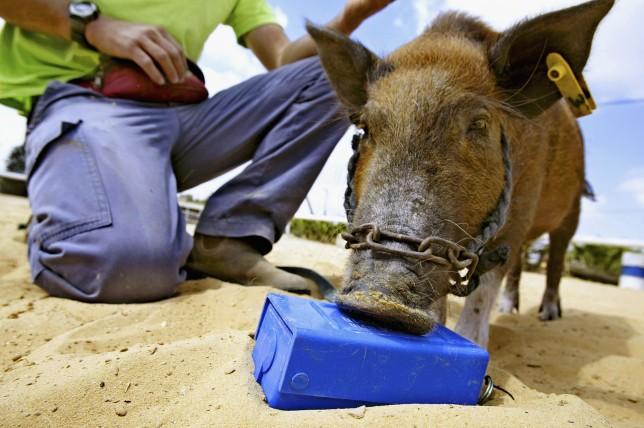 карликовая свинья, мины
