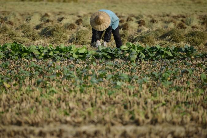 Фермер собирает урожай в селе в провинции Чжэцзян 19 ноября 2013 года. Китай страдает от серьёзного экономического неравенства: 468 млн жителей страны тратят меньше $2 в день. Фото: Peter Parks/AFP/Getty Images
