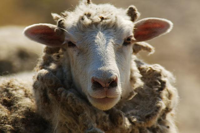 Генетики смогли изменить пол клонированной овцы