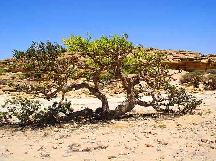 Босвеллия, ладанное дерево, ладан, пустыня, дерево