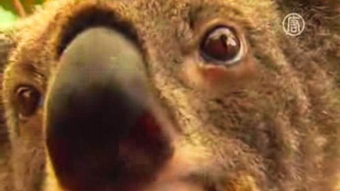 Брисбенских коал готовят к объятиям мировых лидеров