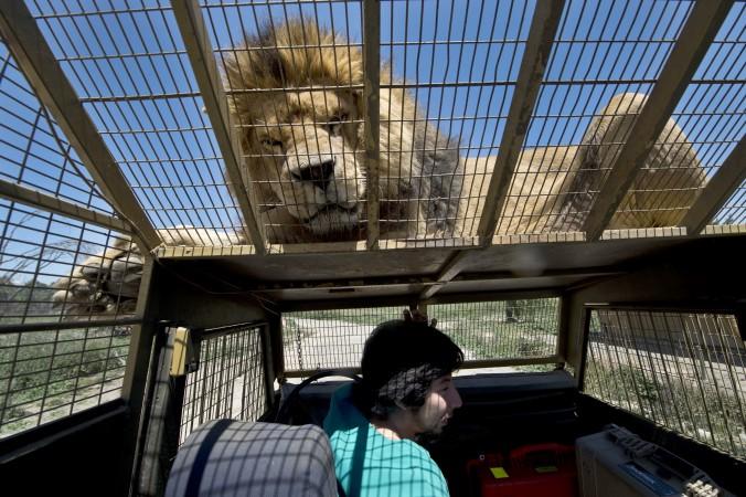 лев, сафари, животные, Чили, фото дня, фото