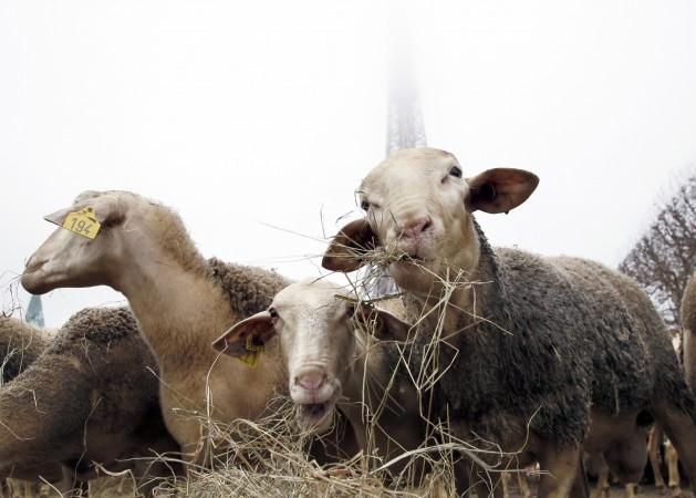 овцы, протест, природа, фото дня, фото