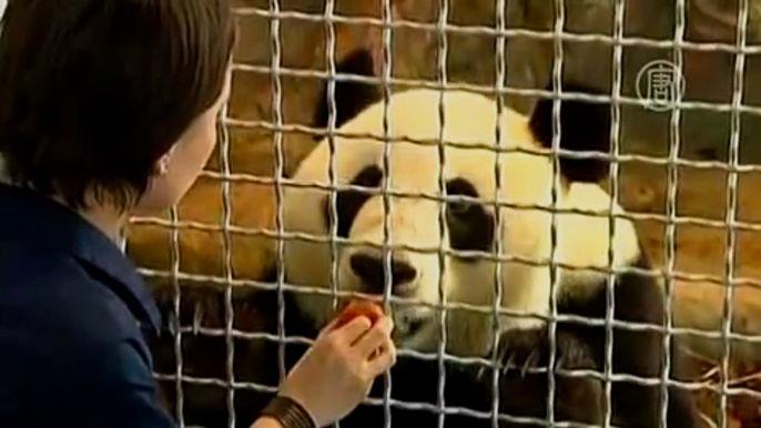 В японском зоопарке панда  принесла потомство (видео)