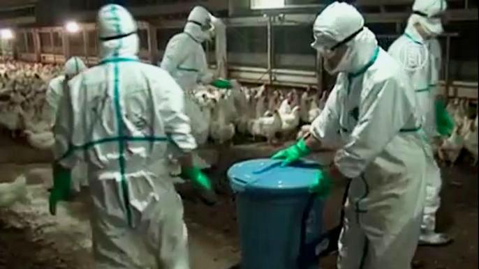Местные власти сообщили, что возьмут на себя расходы по захоронению, а также по дезинфекции фермы. Скриншот видео.