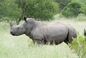 Умер последний на Земле самец северного белого носорога