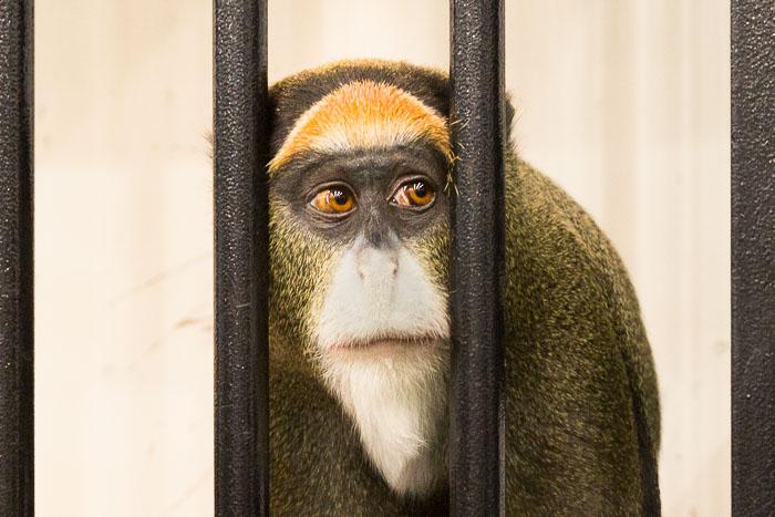 Японскую мартышку Шарлотту переименуют из-за жалоб