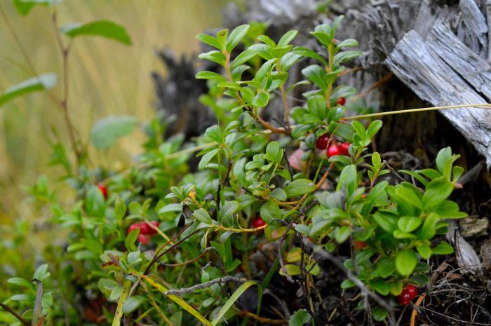 Чудо-ягода: полезные свойства клюквы