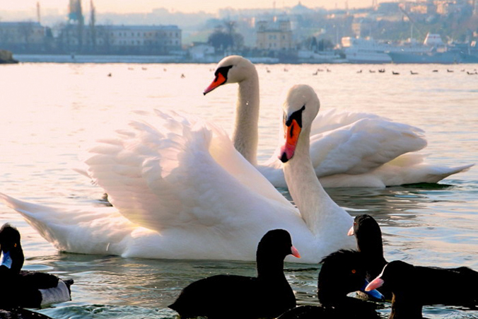 Белые лебеди зимуют в бухтах Севастополя. Фото: Алла Лавриненко/Великая Эпоха