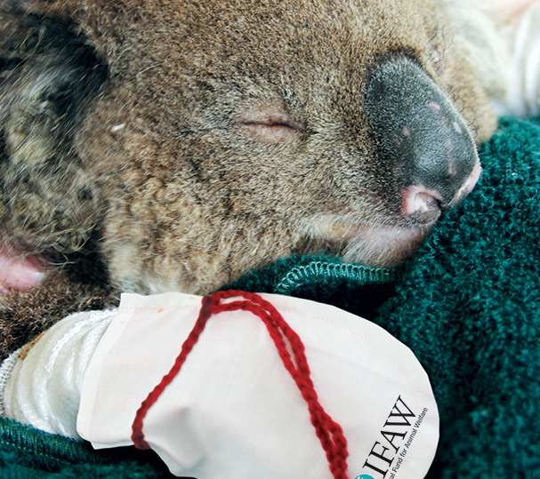Зоозащитники призывают шить варежки для коал