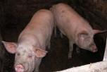 Жительница Приморья, съевшая арестованную свинью, пойдет под суд
