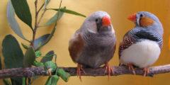 Пьяные птицы не могут правильно высвистывать свои трели