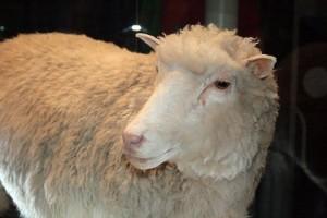 овца Долли