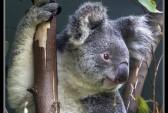 Австралия, коала, полицейский, дорога