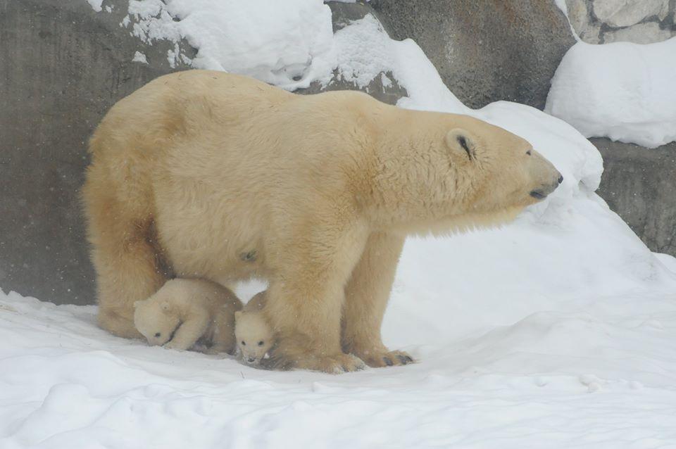 В Московском зоопарке медвежата вылезли из берлоги