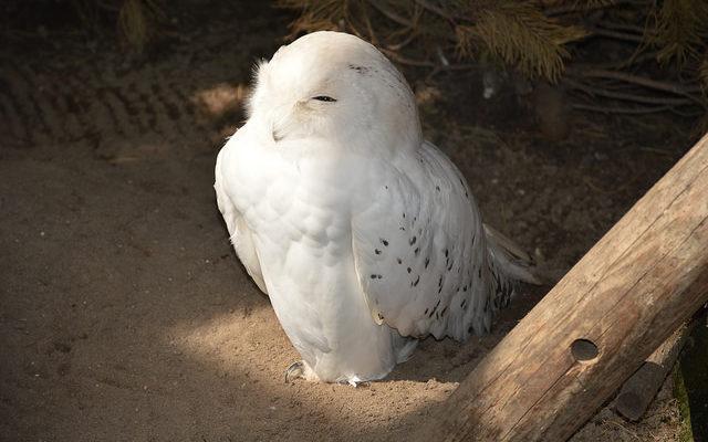 Полярная сова патрулирует заповедник на Камчатке