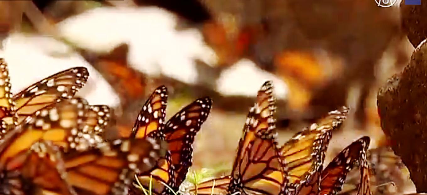 Популяцию бабочек монархов в США будут восстанавливать. Скриншот видео