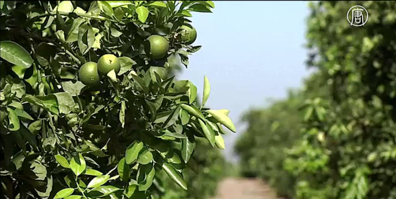 Американские фермеры в этом году терпят убытки. Скриншот видео: Телеканал NTD
