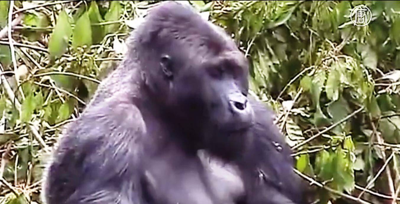 Западные равнинные гориллы. Скриншот видео: Телеканал NTD