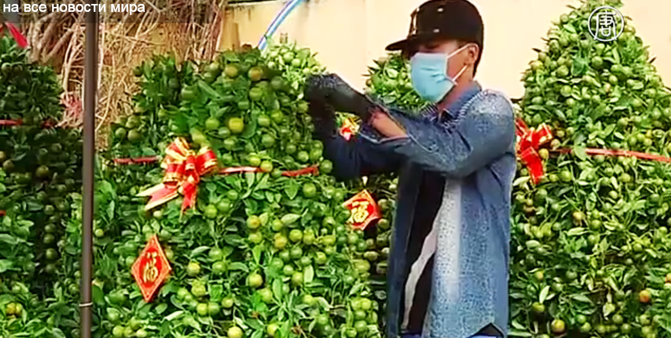 Китайцы скупают мандариновые деревья перед Новым годом.  Скриншот видео: Телеканал NTD